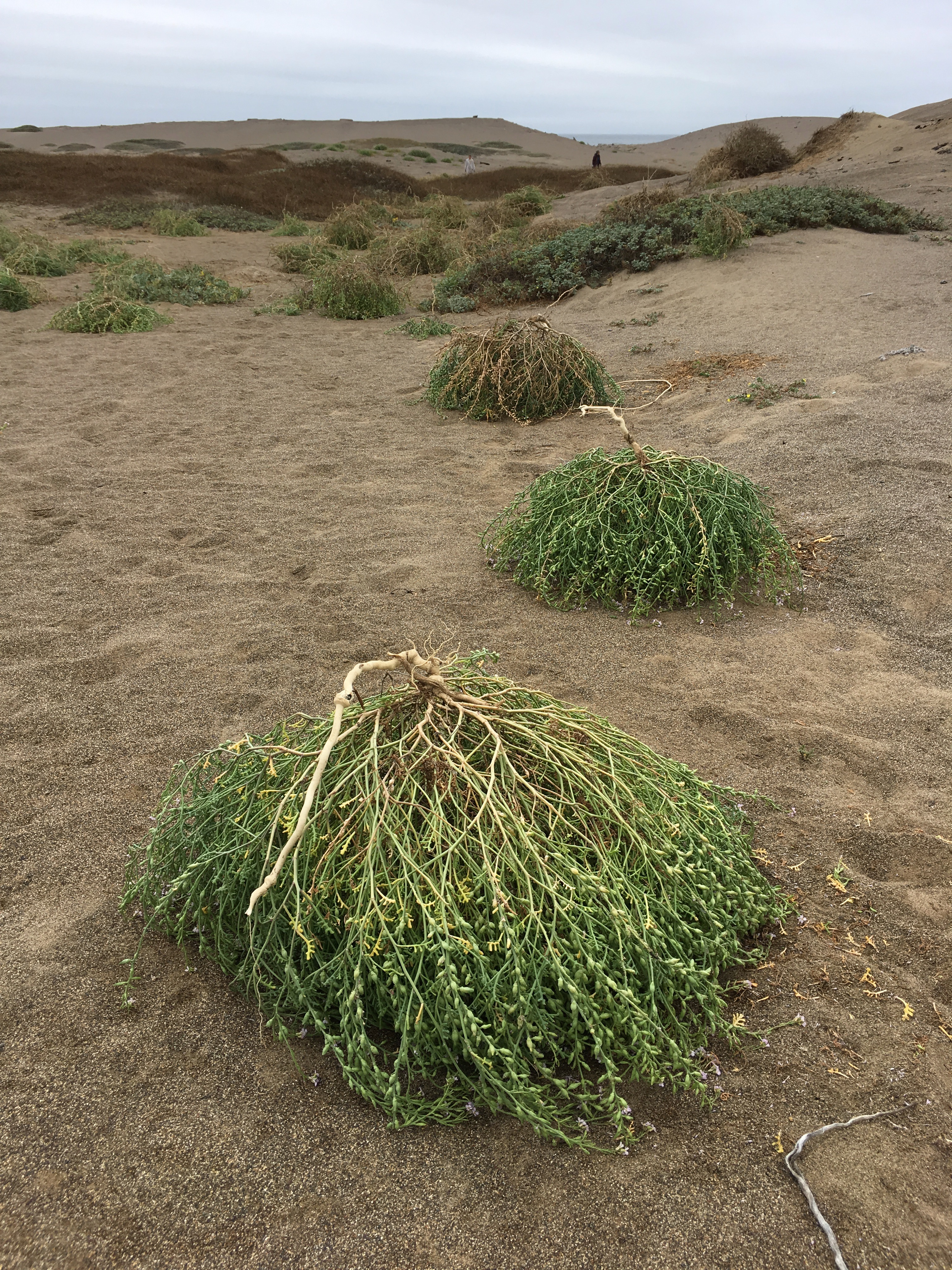 Uprooted searocket clumps lay in sand dunes