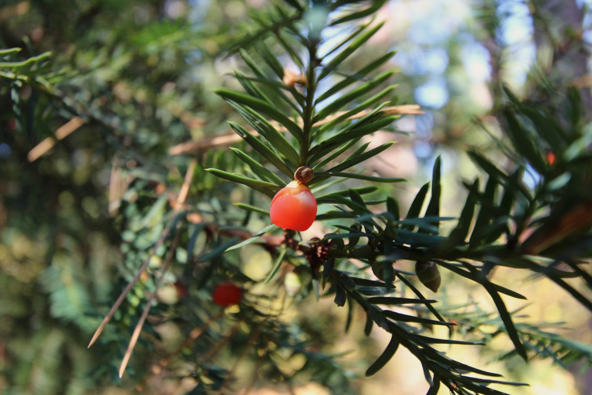 Wild Yew berry branch